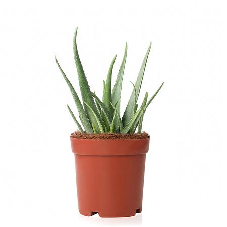 Sense of Home Zimmerpflanze Aloe vera ohne Übertopf