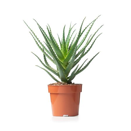 Sense of Home Zimmerpflanze Baum-Aloe ohne Übertopf