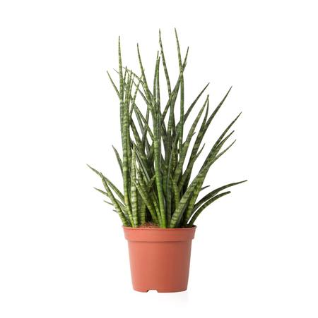 Sense of Home Zimmerpflanze Bogenhanf'Fernwood'
