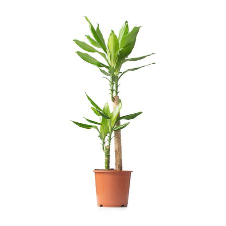 Sense of Home Zimmerpflanze Drachenbaum 'Steudneri' ohne Übertopf