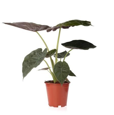 Sense of Home Zimmerpflanze Elefantenohr 'Wentii'