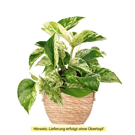 Sense of Home Zimmerpflanze GoldenenEfeutute