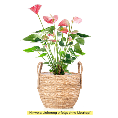 Sense of Home Zimmerpflanze GroßeFlamingoblume pink