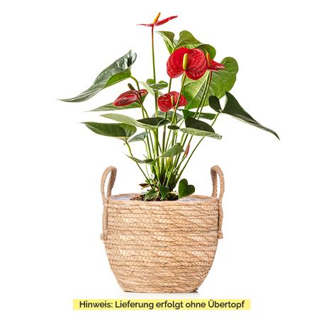Sense of Home Zimmerpflanze GroßeFlamingoblume rot