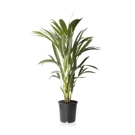 Sense of Home Zimmerpflanze Kentiapalme
