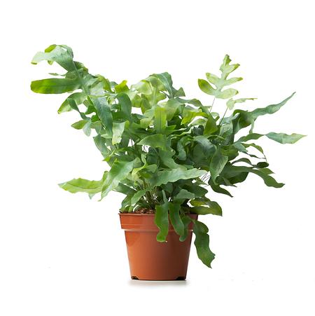 Sense of Home Zimmerpflanze Tüpfelfarn 'Blue Star' ohne Übertopf