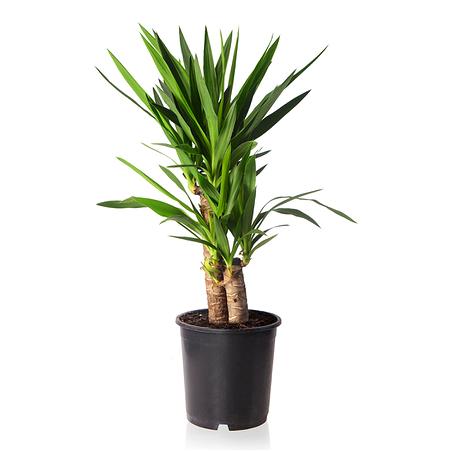 Sense of Home Zimmerpflanze Yucca-Palme ohne Übertopf