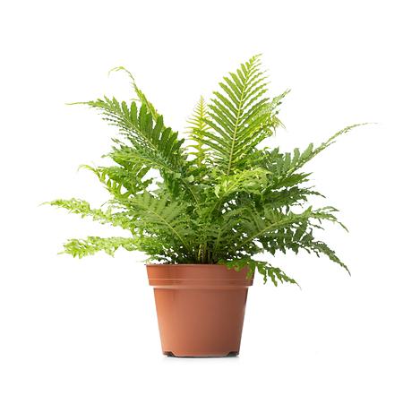 Sense of Home Zimmerpflanze Zwerg-Baumfarn 'Silver Lady' ohne Übertopf