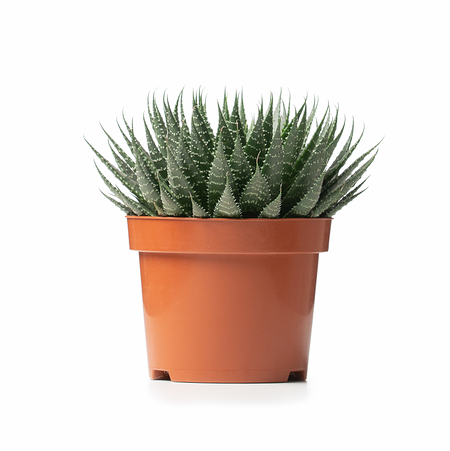 Sense of Home ZimmerpflanzeAloe aristata ohne Übertopf
