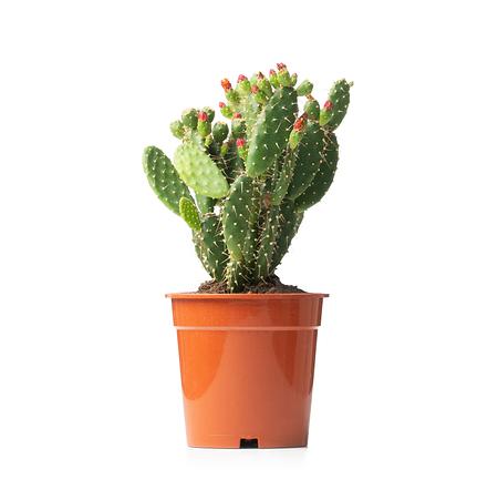 Sense of Home ZimmerpflanzeOpuntia quitensis