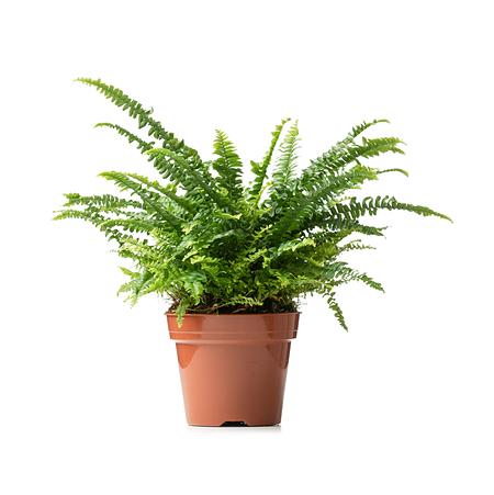 Sense of Home ZimmerpflanzeSchwertfarn 'Green Lady' ohne Übertopf