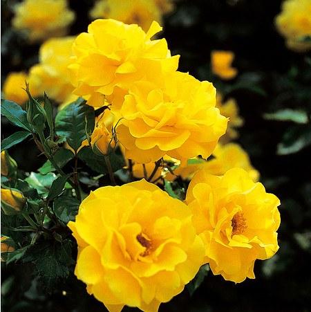 Set mit 4 gelben ADR-Rosen