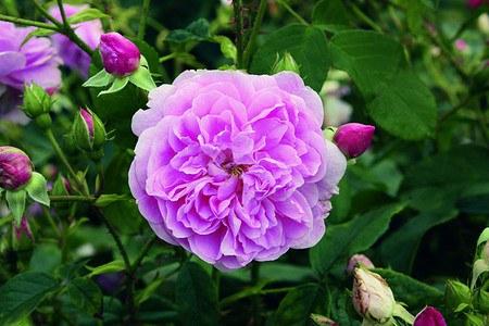 Set mit 4 rosa Rosen für einenDuftrosengarten