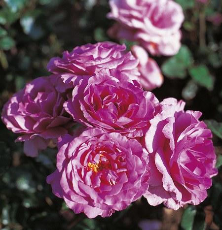 Set mit 4 rosafarbenen ADR-Rosen