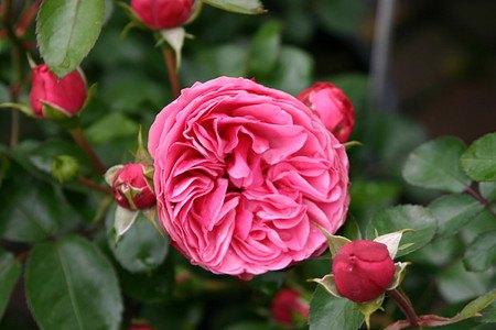 Set mit 4 rosafarbenen, klassischen und duftenden Rosen