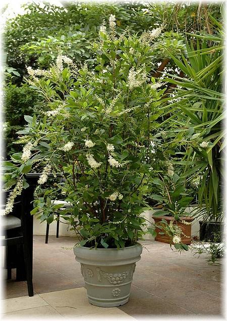 Silberkerzenstrauch Scheineller - Clethra alnifolia