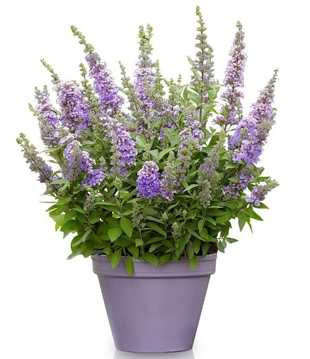 "Sommerflieder ""High Five Purple®"",1 Pflanze"
