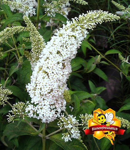 """Sommerflieder """"Peace®"""",1 Pflanze"""