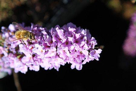 Sommerflieder, Schmetterlingsstrauch 'Lilac Chip'®
