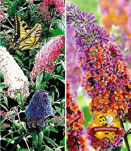 Sommerflieder-Sortiment zum Vorteilspreis, 2 Pflanzen