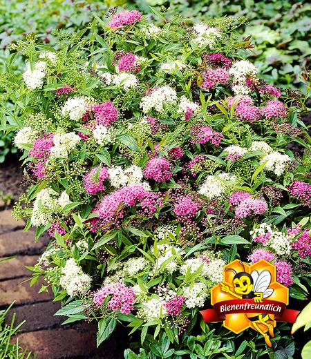 """Spiere """"Harlekin Shirobana"""",1 Pflanze"""