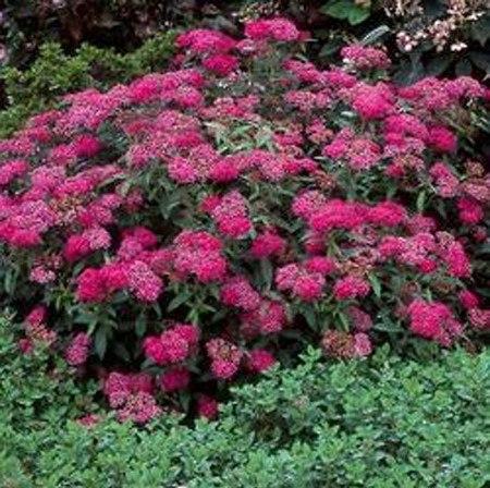 spierstrauch rote sommerspiere 39 anthony waterer 39 g nstig online kaufen mein sch ner garten shop. Black Bedroom Furniture Sets. Home Design Ideas