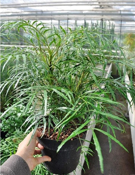 Stachellose Mahonie - Mahonia eurybracteata Soft Caress