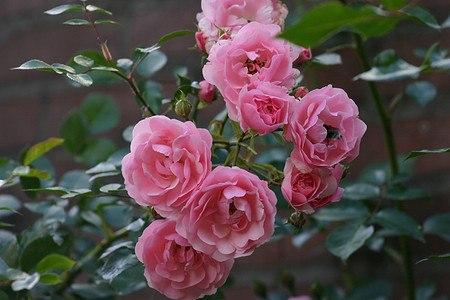 Stämmchen Rose Bonica 82® (imgrossen Container)