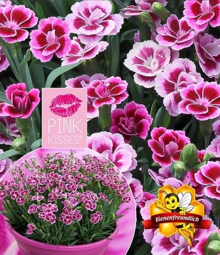 """Stauden-Nelke """"Pink Kisses®"""",3 Pflanzen"""