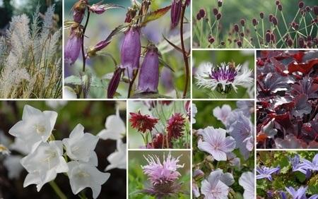 Staudenbeet mit Glockenblumen zum Nachpflanzen, 12 Pflanzen