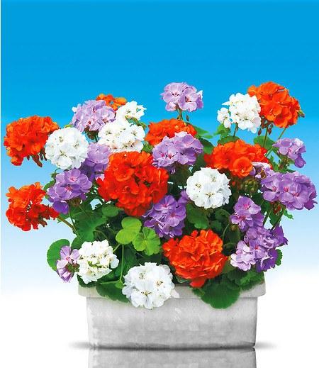 Stehende Balkon-Geranien Kollektion, 6 Pflanzen blau und orange