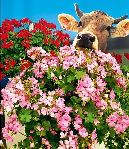 """Stehende Geranie Alpen-Gärtner® """"Pink"""",3 Pflanzen"""