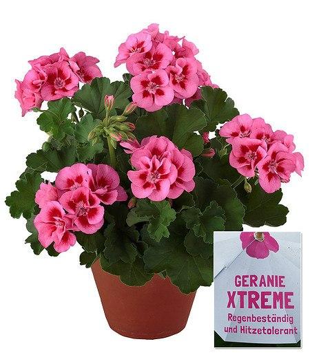 Stehende Geranie Xtreme rose,3Pflanzen