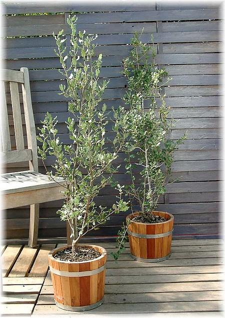 Stein-Eiche Quercus ilex