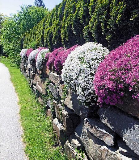 Steingarten Phlox-Mix,4 Pflanzen