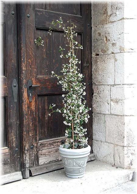 Sternjasmin Trachelospermum jasminoides