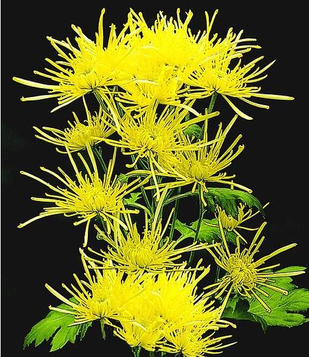 "Strahlen-Chrysantheme ""Goldgelb"",3 Pflanzen"