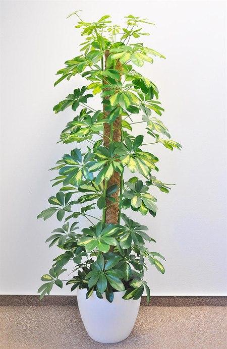 Strahlenaralie (Schefflera) Gelb - Schefflera arboricola