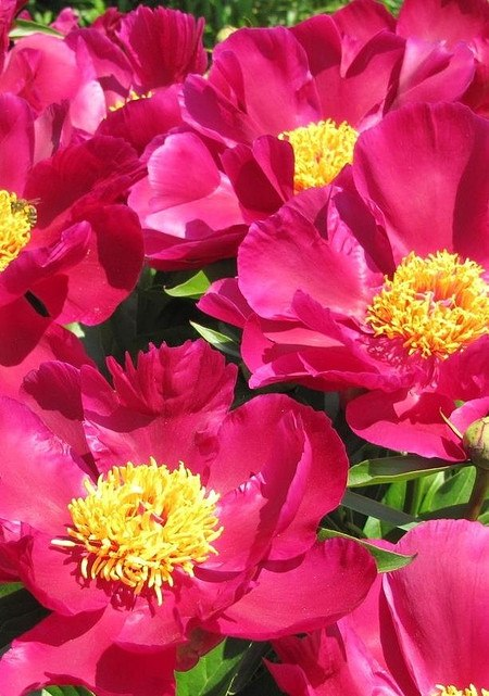 Strauch-Pfingstrose (Päonie) 28 cm - Topf pink - Paeonia suffruticosa