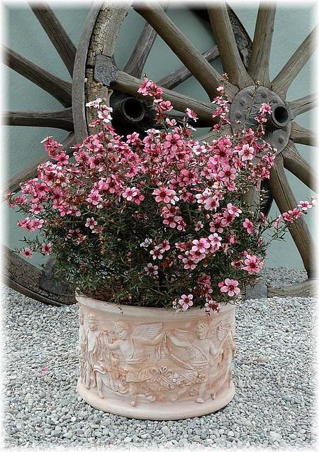 Südseemyrte Leptospermum scoparium ´Ballerina`