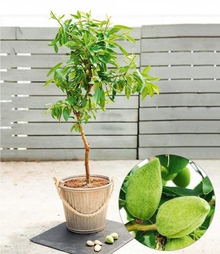 "Süß-Mandel ""Nut Me® Almond"",1 Pflanze"