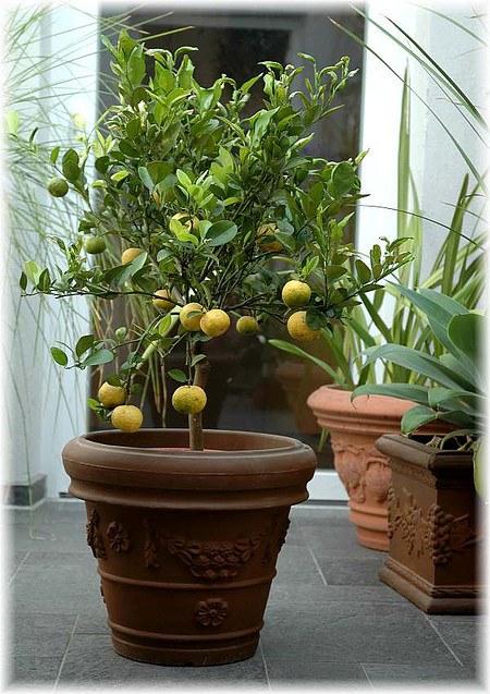 Süße Römische Limette Citrus limetta ´Pursha`