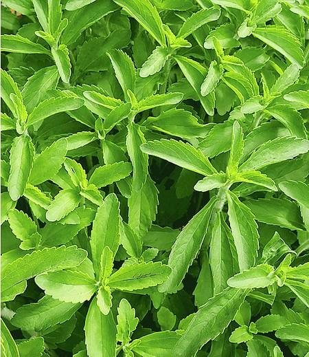 Süßkraut 'Stevia' Honigkraut,2 Pflanzen Stevia rebaudiana Süsskraut