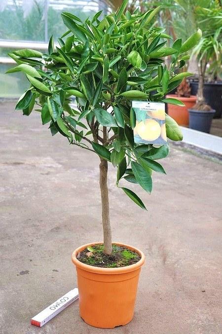 Tangelo Mapo - Citrus tangelo Mapo