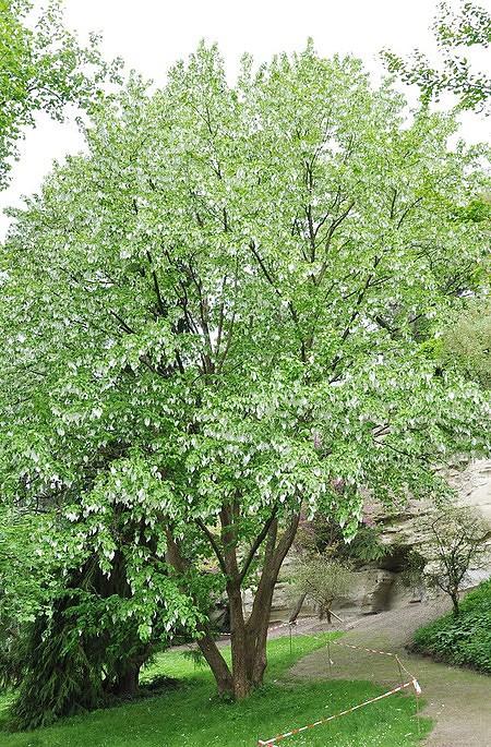 Taschentuchbaum (Taubenbaum) - Davidia involucrata