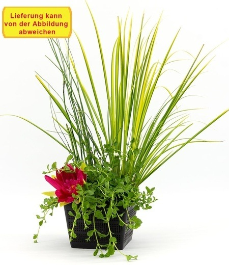 "Teichpflanzen-Korb ""Mix 3 Pflanzen"",1 Set"
