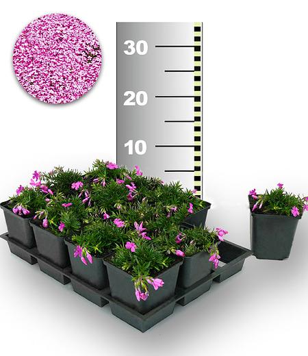 "Teppichphlox ""Emerald Pink"" 25 Stk.,25 Pflanzen"