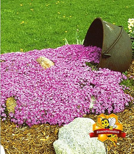 "Teppichphlox ""Emerald Pink"",3 Pflanzen"