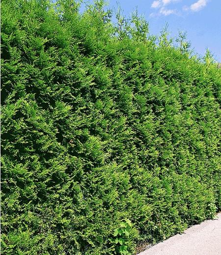 """Thuja Lebensbaum """"Brabant"""",1 Pflanze"""