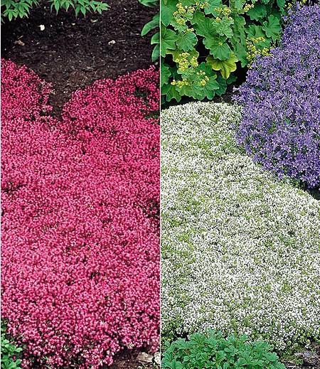Thymian-Kollektion rot und weiß,6 Pflanzen